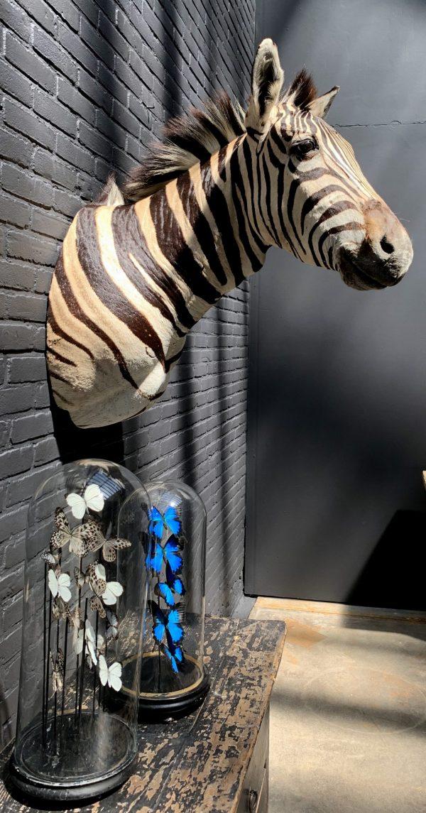 Opgezette kop van een Burchell zebra