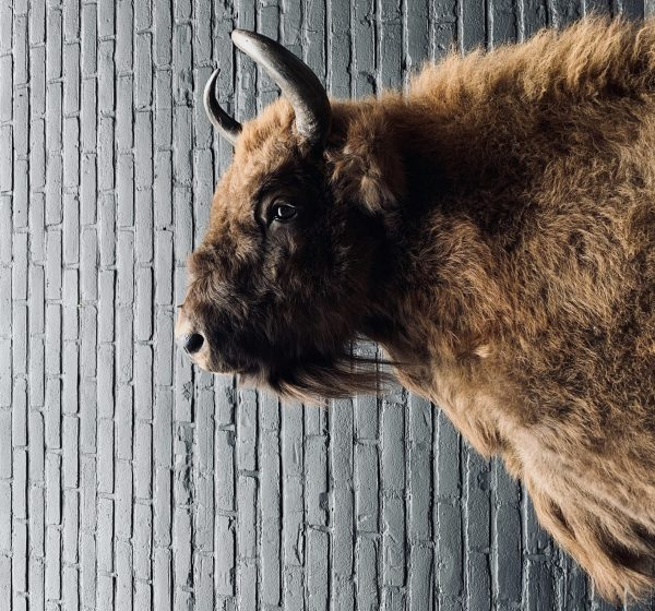 Opgezette kop van een wisent (Europese bizon)