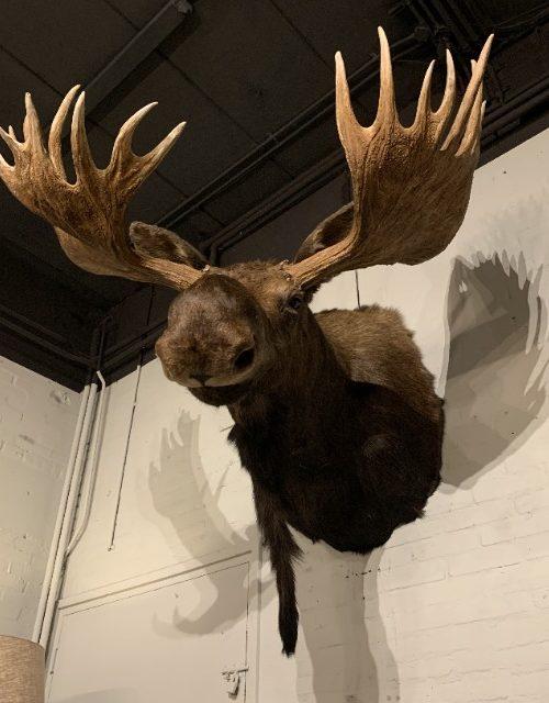 Opgezette kop van een enorme Canadese eland.