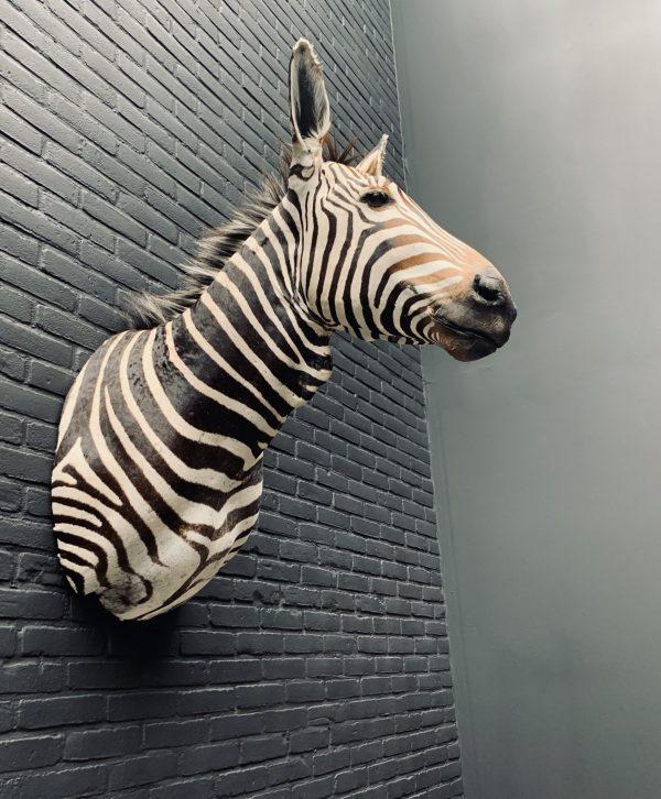 Opgezette kop van een Hartmann zebra