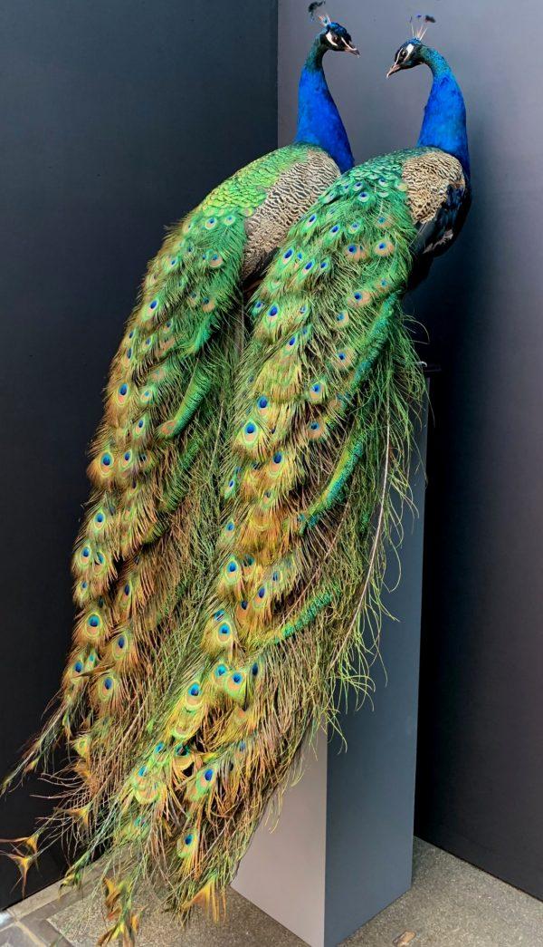 Recent opgezette blauwe pauw