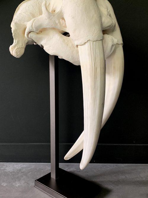 Zeer zware en bijzondere schedel van een walrus