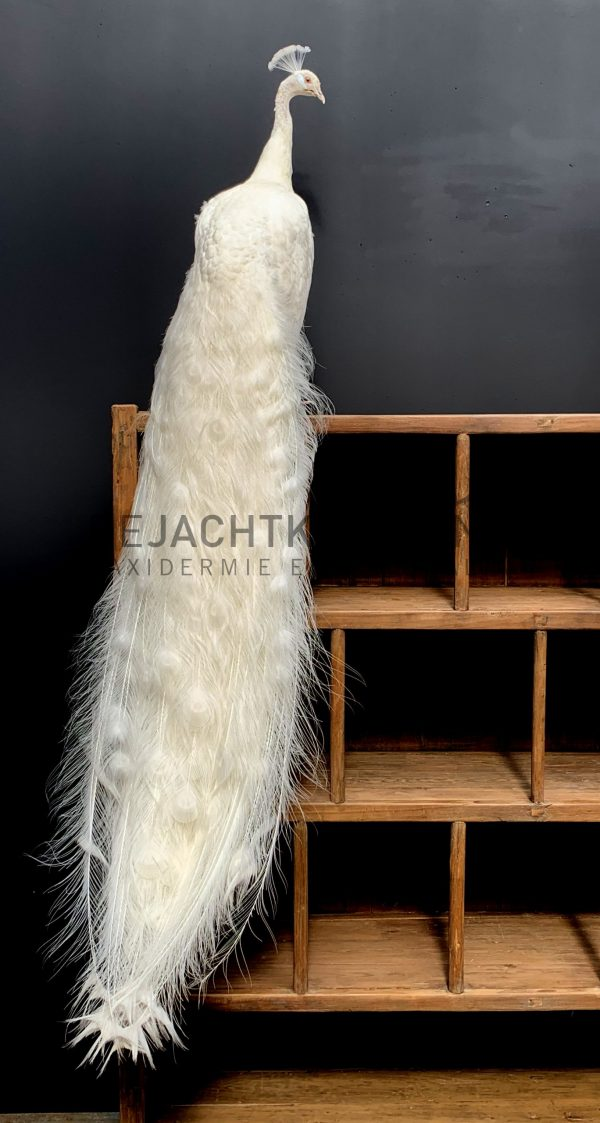 Exclusive stuffed white peacock