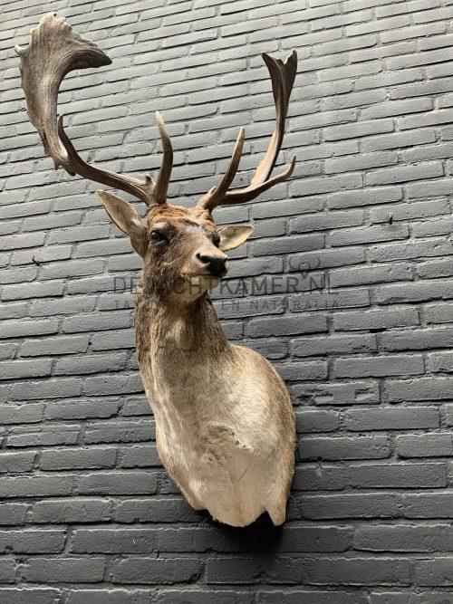 Taxidermy head of a fallow deer