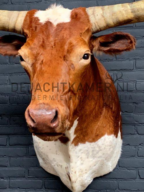 Mounted head of a huge Watusi Taurus