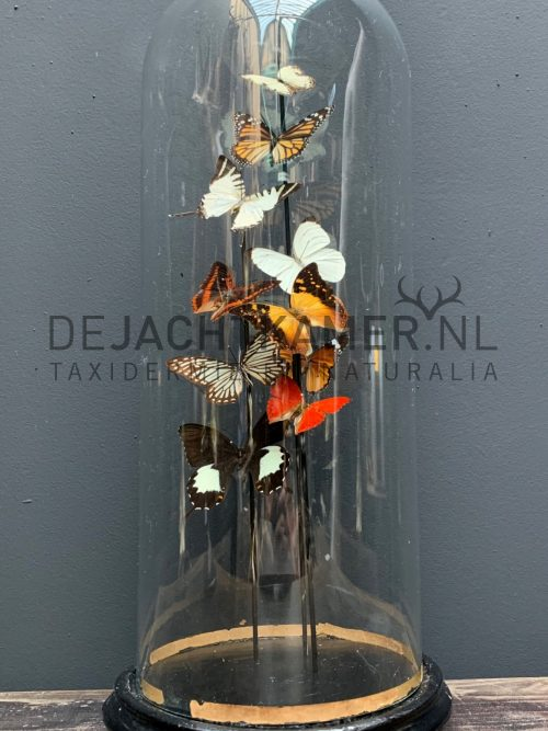 Antique dome filled with a mix of colourful butterflies (autumn shades)