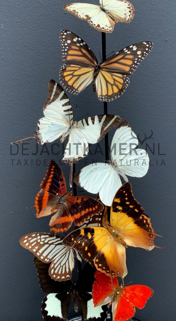 Antieke stolp gevuld met een mix van kleurrijke vlinders (herfsttinten). Vlinderstolp
