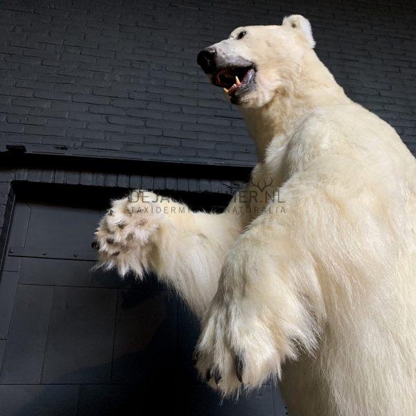 Recent opgezette ijsbeer