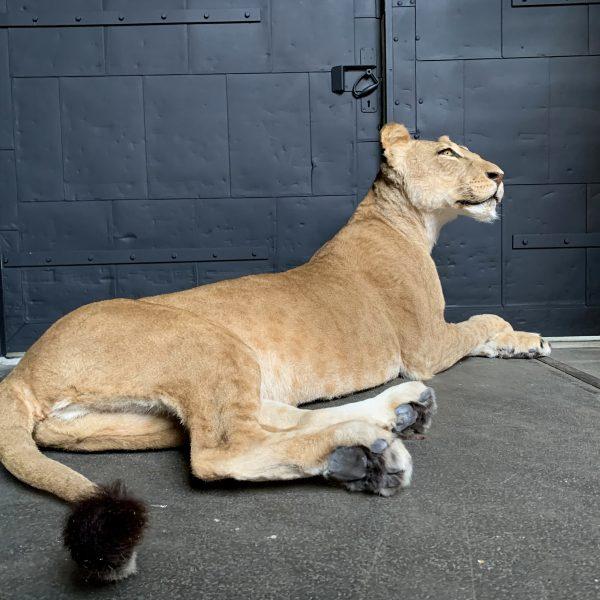 Recent opgezette leeuwin