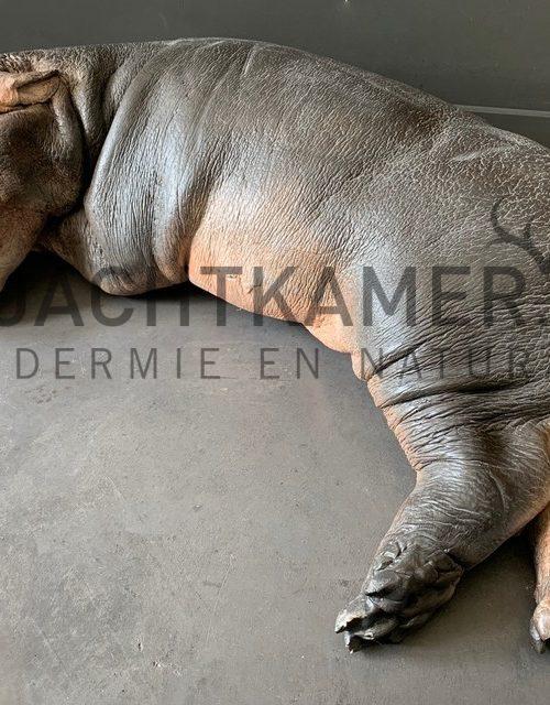 Casting of a hippopotamus calf