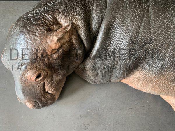 Afgietsel van een nijlpaard kalfje