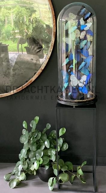XXL stolp met blauwe en witte morpho vlinders. Vlinderstolp