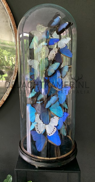 XXL bell jar with blue and white morpho butterflies