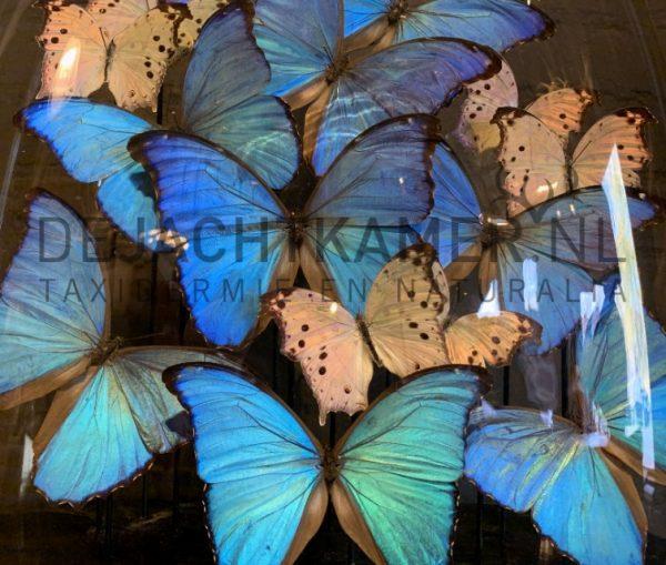 Grote antieke stolp met blauwe en witte vlinders. Vlinderstolp