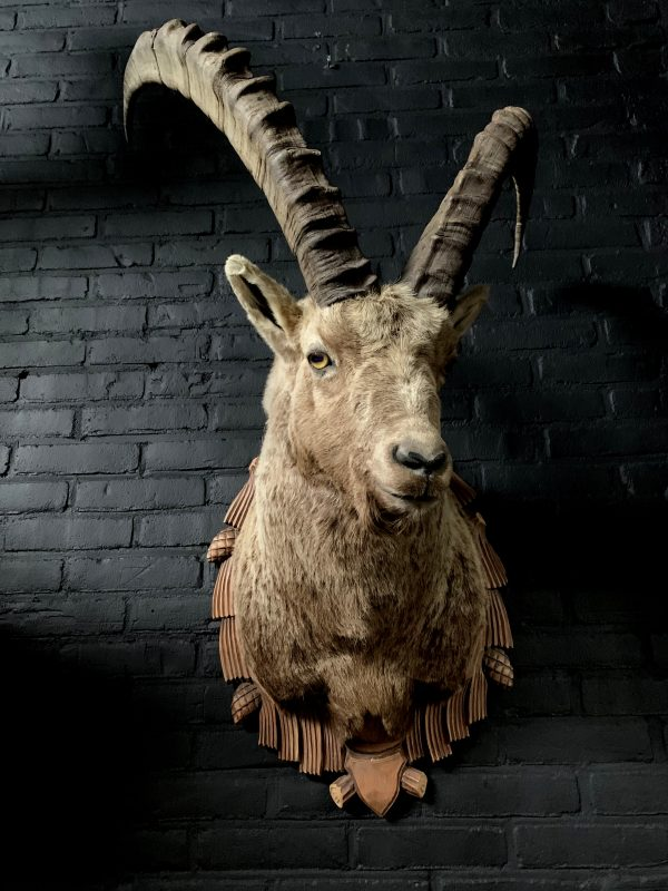 Mounted head of an ibex