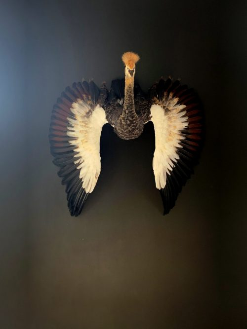 Taxidermy young crane