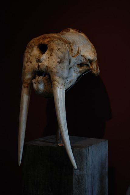 Walrusschedel op hard houten console