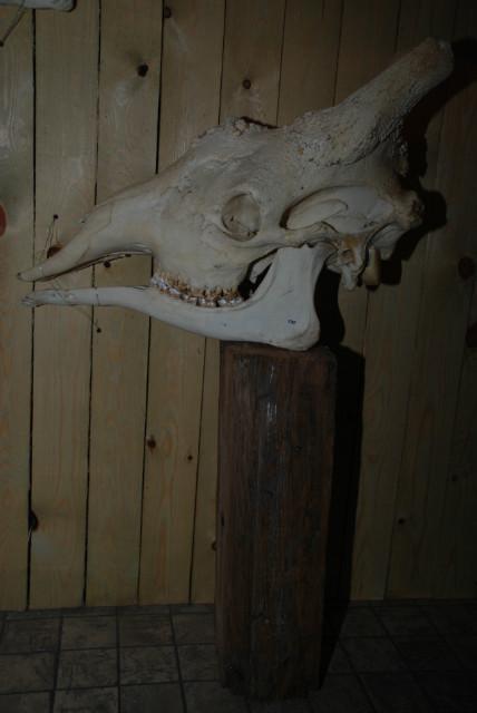 Big skull of a giraffe