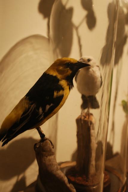 Opgezette wevervogels onder antieke stolpen