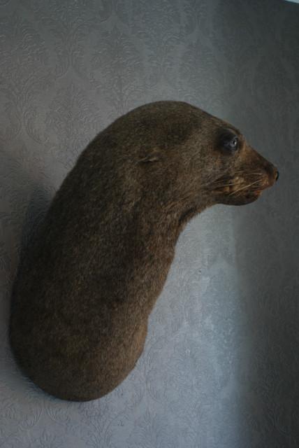 Oude opgezette kop van een prachtige zeeleeuw
