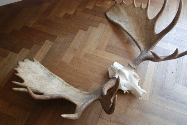 Groot zwaar gewei van een canadese eland. Elandgewei.