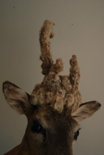 "Stuffed head of a rare ""pruikenbok""."