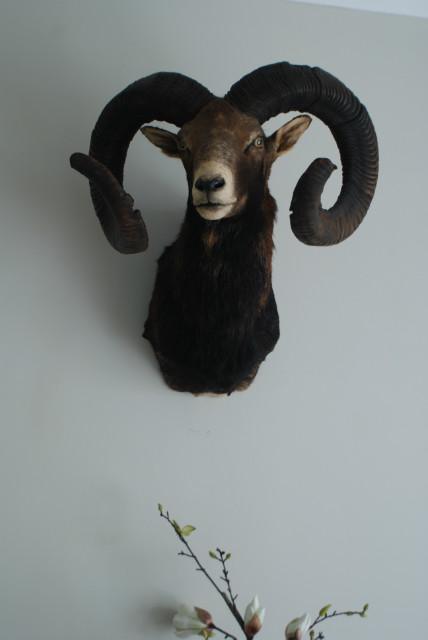 Oude opgezette kop van een kapitale mouflon ram.