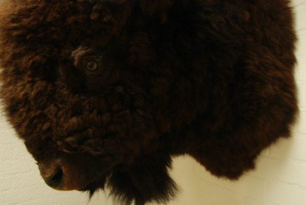 Enorme opgezette kop, jachttrofee van een Bison. Bisonkop.