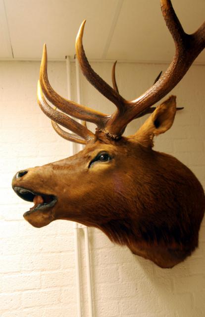 Hughe trophy head of a wapiti.