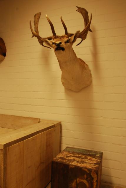 Impressive trophy head of a fallow deer.