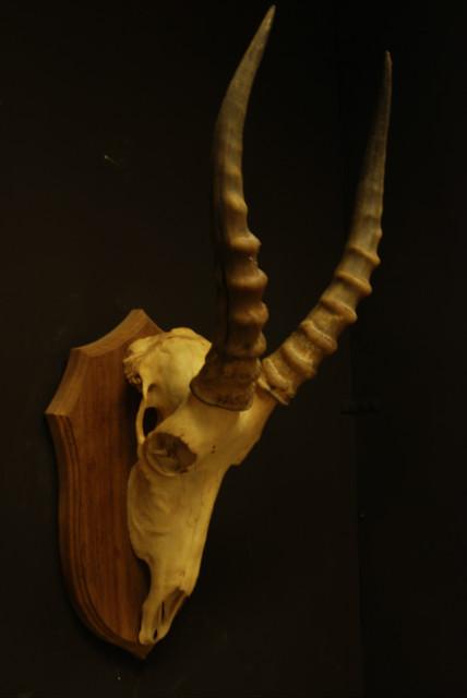 Complete schedel van een witte blesbok.