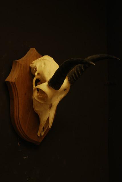 Mooie schedel van een reedbok.