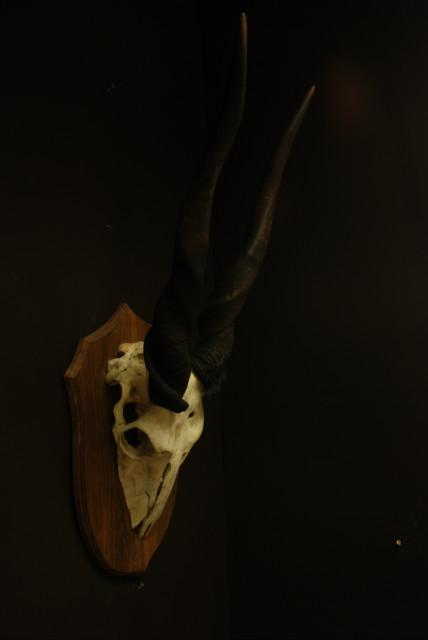 Oude grote schedel met grote horens van een elandantilope.