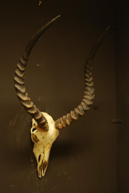 Mooie oude schedel van een impala