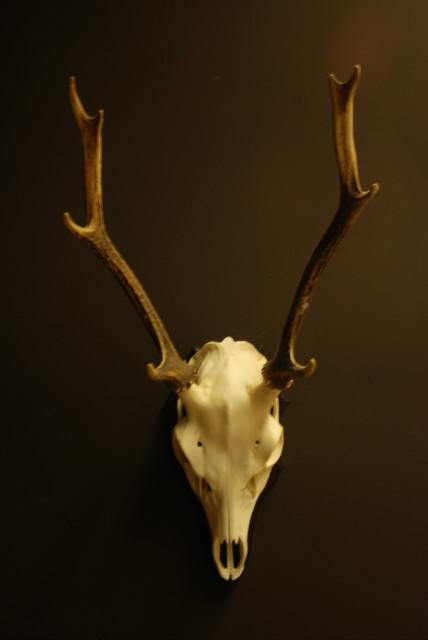 Skull, pair of antlers of a sika deer.