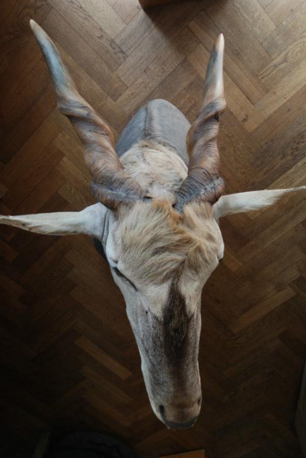 Indrukwekkende opgezette kop van een elandantilope. Jachttrofee.