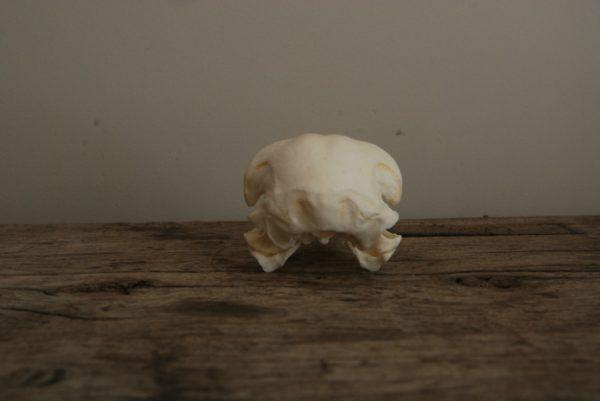 Replica skull of a golden eagle. Very lifelike.