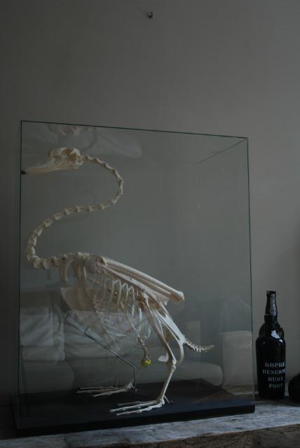 Enormous skeleton of a Swan.