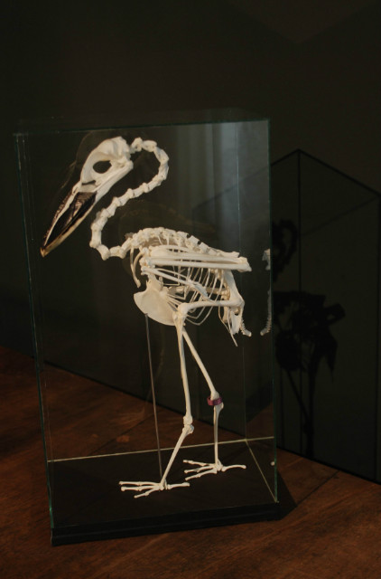 Vakkundig geprepareerd skelet van een schuitbekreiger.