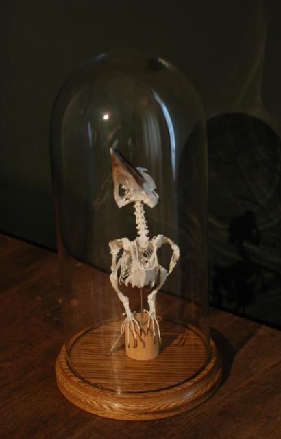 Skelet van een kookaburra onder een antieke stolp.
