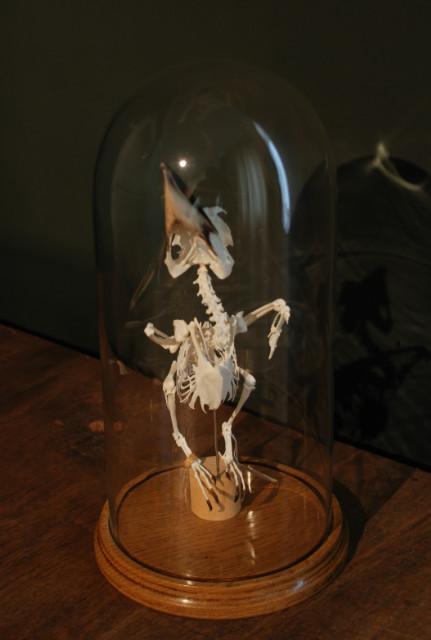 Skeleton of a blue winged kookaburra.