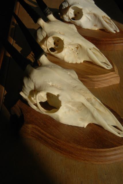 2 schedels van duikers op houten paneel.