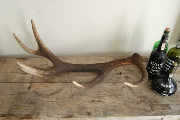 Antlers of a red stag.