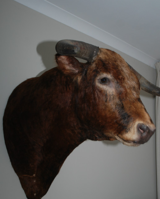 Impressive stuffed head of a Spanish fighting bull.
