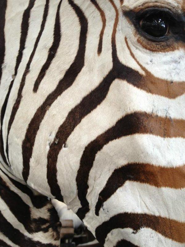 Impressive head of a zebra on a pedestal. Zebra pedestal mount.