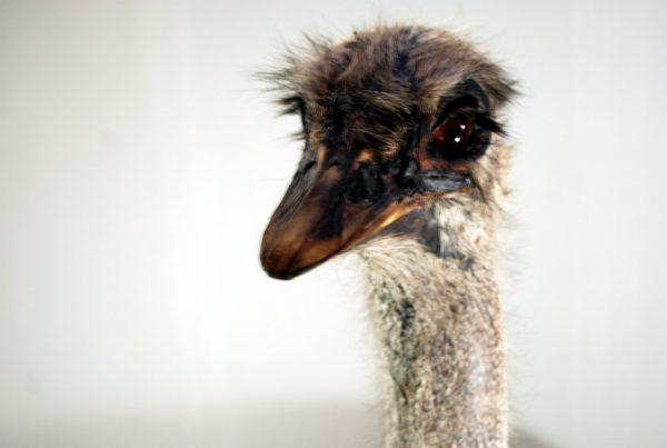 Enormous big fullmount of an ostrich.