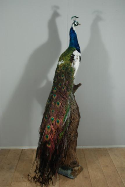 Stuffed peacock mounted on a pedestal. Fresh taxidermy.