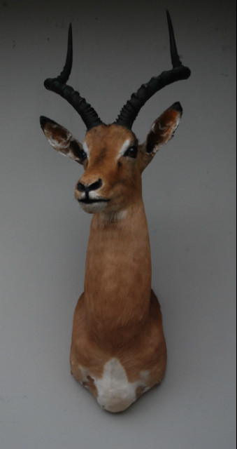 Trophyhead of an impala. Nice taxidermy.