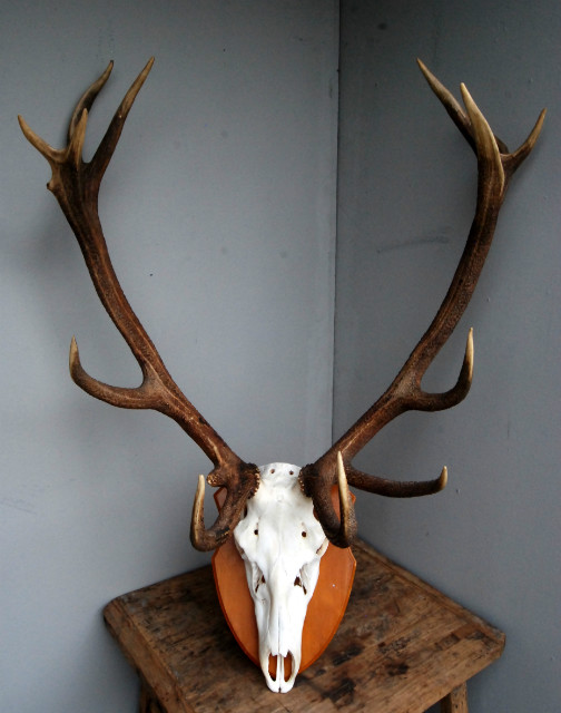 Pair of antlers of a massive red stag.