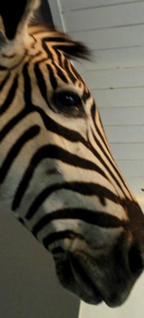 Nice mounted head of a zebra. Zebra head, taxidermy.